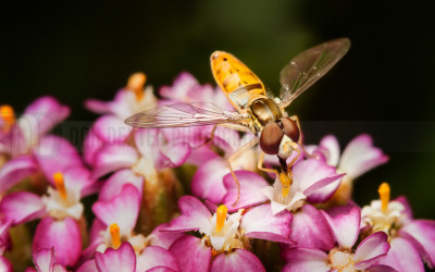 DanDexter-HoverflyStack-2013-06-19-12.05.59 ZS retouched