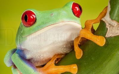 DanDexter-RedEyedTreeFrog-2014-07-25-15.39.21 ZS retouched
