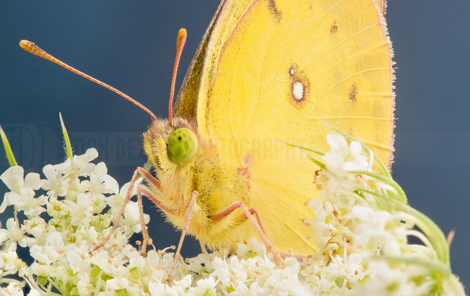 DanDexterPhotography-YellowButterflyStack-2013-08-04-20.01.40 ZS retouched